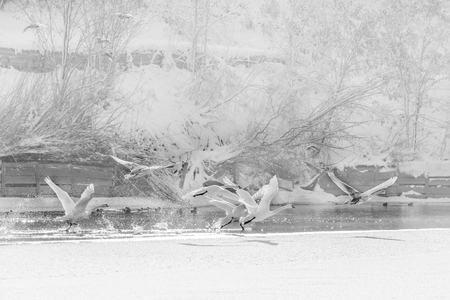 winter escape: Swans in flight over frozen water. Black and white winter landscape with swans flying over cold water and snow behind.