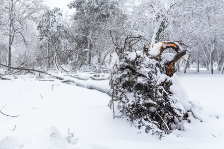 severity: The root of a fallen tree in the park in winter. Broke down tree on the severity of fallen snow
