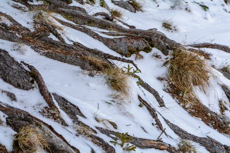 dry grass: Winter interesting scenery. Tree roots background and dry grass covered with snow.