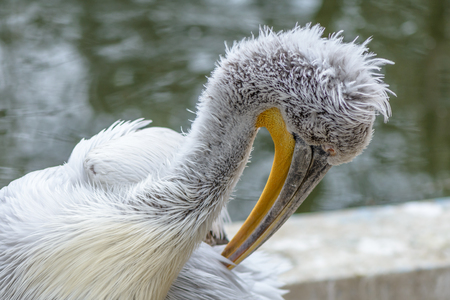 great white pelican: Pelican scene and beauty in nature. The great white pelican - Pelecanus onocrotalus - also known as the Eastern white pelican.