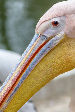 great white pelican: Beautiful pelican portrait. The great white pelican - Pelecanus onocrotalus - also known as the Eastern white pelican, detail portrait of orange and pink bird.