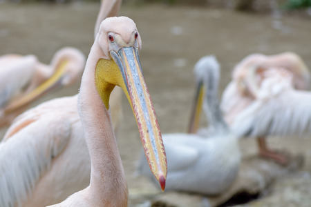 great white pelican: Bird scene and beauty in nature. The great white pelican - Pelecanus onocrotalus - also known as the Eastern white pelican.