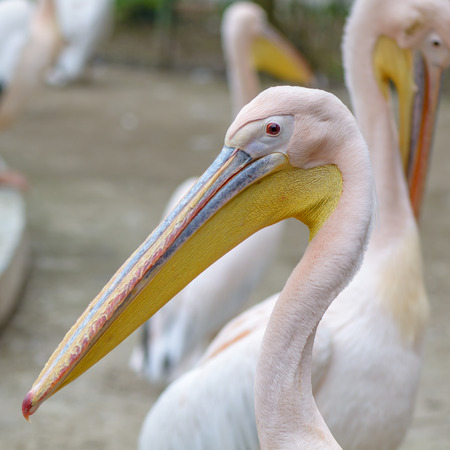 great white pelican: Beautiful pelican portrait. The great white pelican - Pelecanus onocrotalus - also known as the Eastern white pelican. Stock Photo