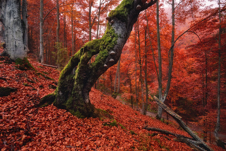 oaks: Autumn forest in the mountains. Old mosscovered lonely tree standing on a slope which is thickly strewn with red fallen leaves Stock Photo