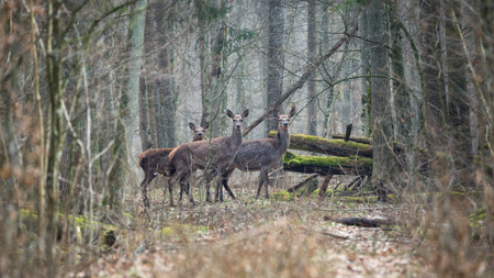 Forest landscape with several young brown deer in the thicket of the spring forest.A few carefully watching the deer in the depths of the spring forest.Forest landscape with young deer in 16: 9 format. Belarus, Bialowieza Forest Reserve.Poland Reklamní fotografie