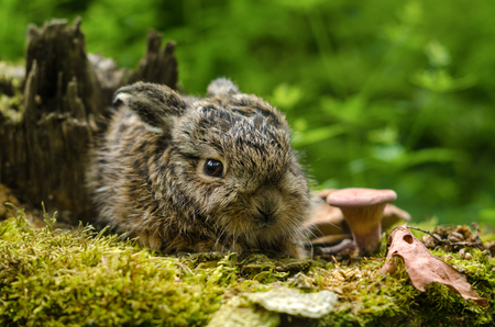 Beautiful Little Bunny. Frightened Wild Brown Leveret With Big Eyes Sits On A Stump Among Fallen Leaves And Mushrooms.Newborn Great Rabbit In The Wild. Wild Fine Little Hare In Forest.Belarus Wildlife Reklamní fotografie