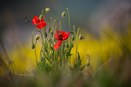 Red poppy and bee.Landscape with spring red poppies and bees.Some poppies are shot with shallow depth of field. South Moravian, Czech Republic Reklamní fotografie