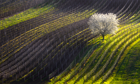 A beautiful spring landscape with a flowering tree and vineyard lines.