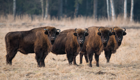 A herd of aurochs grazing on the field.Four large brown bison on the forest background.Four bulls with big horns on the background of the forest.Bestial gang. Belarus, Bialowieza Forest Reserve.Poland Reklamní fotografie
