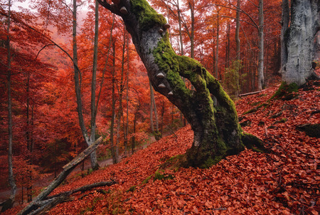 Autumn forest landscape in red tones.Old, moss-covered lonely tree standing on a slope with red fallen leaves.Old rotten beech on a mountainside against a background of red foliage Reklamní fotografie