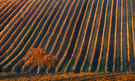 Line and Wine. A lonely autumn tree against the background of the geometric lines of autumn vineyards. Fantastic autumn landscape of the Czech Tuscany. Beautiful landscape with grapes and apple-tree Reklamní fotografie