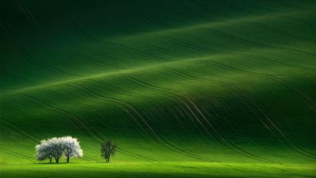 モラヴィア緑のリンゴの木のある風景。夕日に強調表示されている緑の丘に白い春開花木がある風景します。自然の季節の風景です。白の女性 写真素材