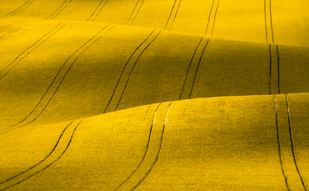 Wavy yellow rapeseed field with stripes. Corduroy summer rural landscape in yellow tones.Yellow rapeseed field with wavy abstract landscape pattern. Yellow moravian undulating fields of crops.