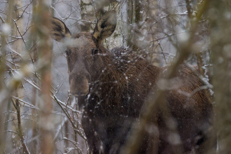 Single European elk standing in a belorussian forest under first snow falling. Moose is awake but relaxed and looking at me in the distance. Wild Bull Moose in Bialowieza National Park, Belarus. Reklamní fotografie