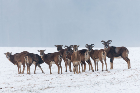 Herd of Wild brown european moufflons (ovis ammon) in winter snow field. A grown and young mouflon standing in front of the snow forest.Belarus.