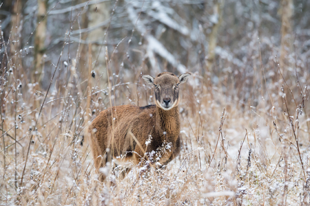 A lone brown adult moufflon (female) standing in a snow-covered dry grass against the background of a winter forest.Female mouflon in a winter snow forest.Single moufflon on the forest background.Belarus