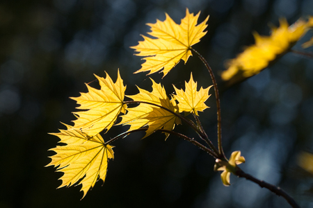 Autumn maple brunch with several yellow leaves, highlighted by bright sunlight