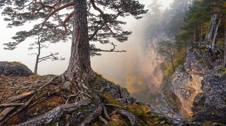 Roots. Severe foggy mountain autumn landscape with a pine, growing on the edge of the abyss and winding roots in the foreground. Mountain LagoNaki plateau, Adygea, Russia. Mountain landscape. Reklamní fotografie