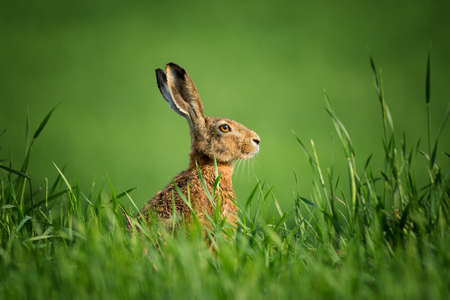 Wild czech hare, covered with drops of dew, sitting in the green grass under the sun. Lonely wild brown hare sitting on the green field of wheat