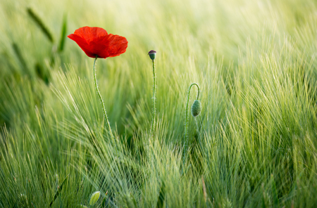Sunlit red poppy, are shot with shallow depth of field, on the background of a wheat field. Landscape with poppy. Rural plot with poppy and wheat. Europe, Czech Republic