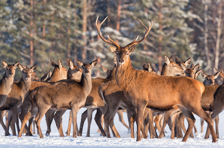 Great noble deer surrounded by herd. Portrait of a noble red deer, while looking at you in winter time.Adult deer with big beautiful horns on snowy field on forest background.Deer on a background of a winter forest, carefully looking towards.Artwork of de Stock Photo