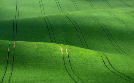 Moravian summer rolling landscape on sunset in green colors. Moravia, Czech Republic.Green rolling hills of wheat that resemble corduroy with lines stretching into the distance.