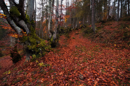 Autumn Forest landscape. Autumn beech forest with a lot of fallen red foliage and light tree trunks.Road in the middle of the forest Reklamní fotografie