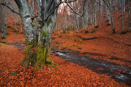 Forest landscape. Autumn beech forest with a lot of fallen red foliage and light tree trunks.The beech grove, strewn with fallen red leaves and a fast cold stream.Large beech on the bank of stream
