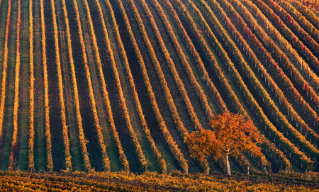 Line and Wine. A lonely autumn tree against the background of the geometric lines of autumn vineyards. Fantastic autumn landscape of the Czech Tuscany. Beautiful landscape with grapes and -tree