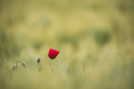Spring Wild Red Poppy, Shot With A Shallow Depth Of Focus, On A Yellow Wheat Field In The Sun. Lonely Red Poppy Close-Up Among Wheat. Picturesque Single Wild Poppy On A Background Of Ripe Wheat Reklamní fotografie