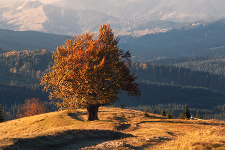 Climax Of Golden Autumn. An Old Lone Beech, Lit By The Autumn Sun, With A Lot Of Orange Foliage On The Background Of The Mountains. Lonely Yellow Tree In The Mountains. Carpathians, West Ukraine Reklamní fotografie