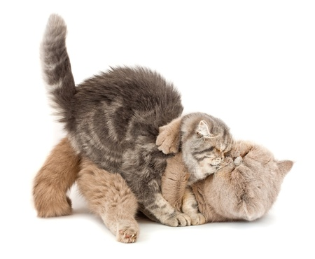 Cats kissing  each others arms on a white background. photo