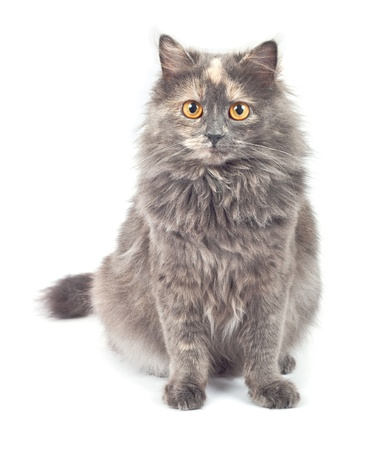 gato gris: Gato gris sobre fondo blanco. Foto de archivo