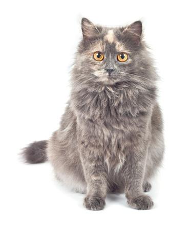 Gray cat on white background. Stock Photo - 9701078