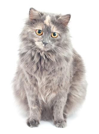 Gray cat on white background. photo