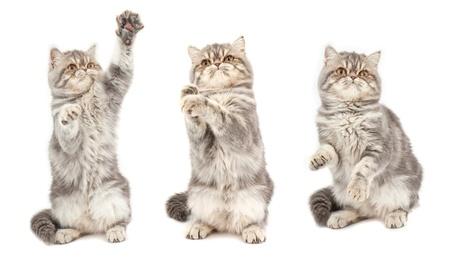 shorthaired: Gatito en poses diferentes. Gatito ex�tico de pelo corto.