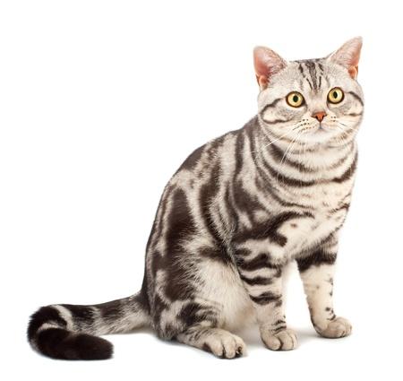 American Shorthair cat on white Stock Photo