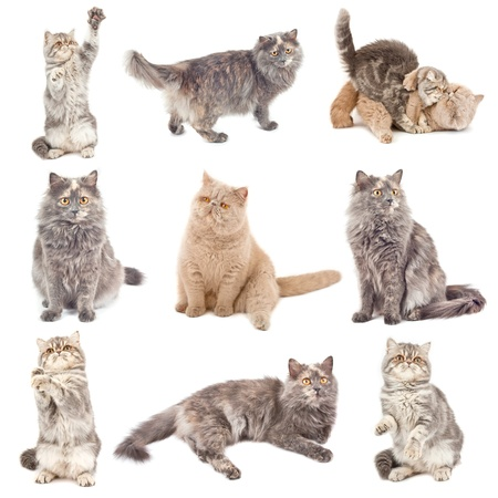 foreshortening: Collection of a cats in different poses isolated over white background