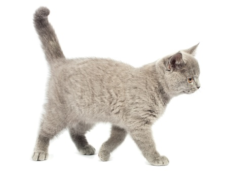 British kitten on white background photo