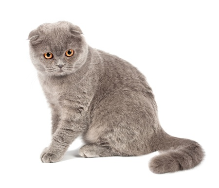 fold: Scottish fold cat grey on white background Stock Photo