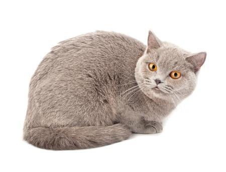 grey tabby: British cat on white background