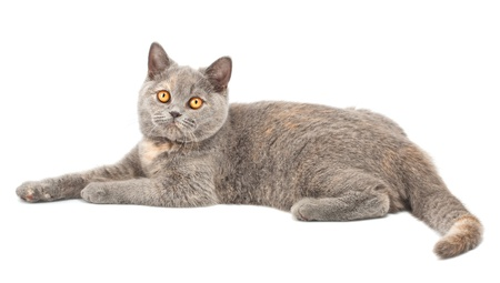 British kitten isolated on the white background photo
