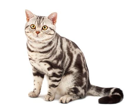 shorthair: American Shorthair cat on white Stock Photo