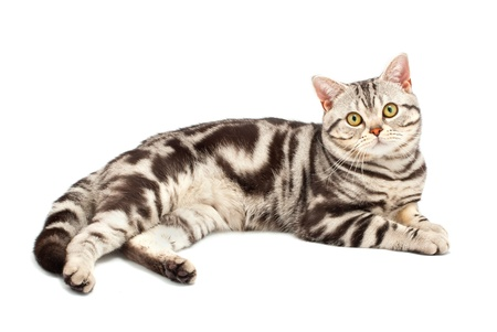 American Shorthair cat on white Stock Photo