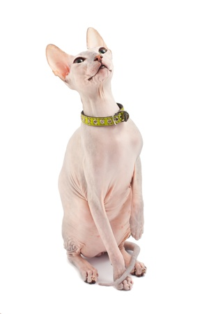 Don Sphynx (DON SPHYNX) cat. Isolated on white background photo
