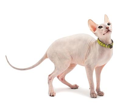 esfinge: Don Sphynx (DON SPHYNX) cat. Aislado en fondo blanco