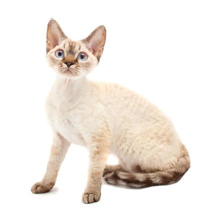 devon: Cat Devon Rex on white background Stock Photo