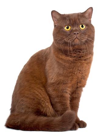 Scottish fold Chocolate cat on a white background photo