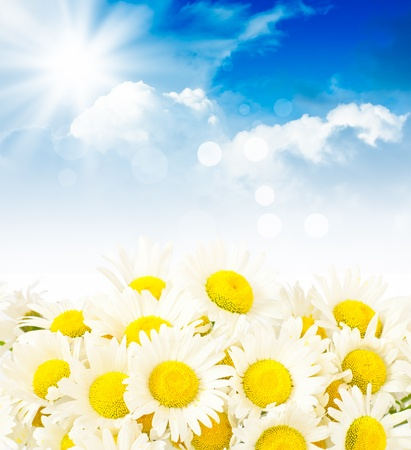 White daisies against a blue sky with white clouds photo