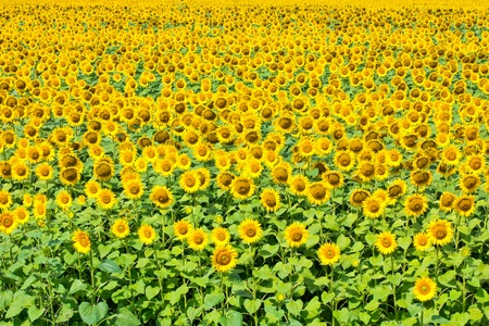Beautiful sunflower field with lots of sunflowers photo